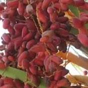 khasiat buah kurma untuk kesuburan