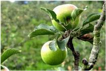 apel malang nya yang warna hijau ya